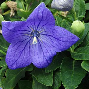 Balloon Flower Sentimental Blue   - Platycodon Grandiflorus -  std pot